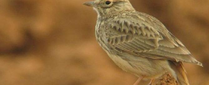 El tesoro ornitologico de la Estepa belchitana